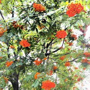 秋の深まりを作品写真バックに「第4回ナナカマドの並木→実が赤く赤く~色づき」♪
