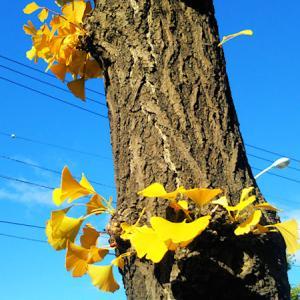 北海道コロナ?事情は?最高の119人! と 続~積雪❆前の & 銀杏並木=落葉のコラボレーシ