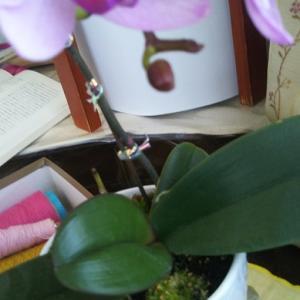 今日は「コロッケの日]と我が家の第3代目?の胡蝶蘭✿✿✿✿の姉妹に期待♪