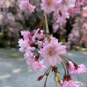 散歩 de 花見