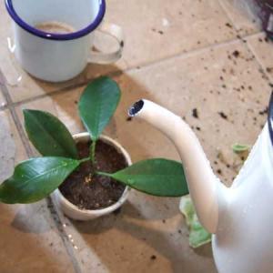 フィカス・ナナ、パキラ、ガジュマル、ゼラニウム:剪定して苗を作ったよ!苗の作り方メモ