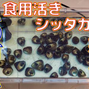 食用活きシッタカ貝を水槽に投入できる?