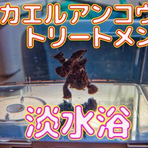 カエルアンコウ_トリートメント4日目_淡水浴