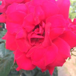 薔薇が満開