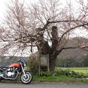 推定樹齢100年以上 旧加治川堤の唯一の残存桜