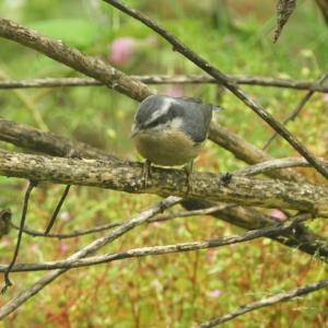 昨日の庭に来た小鳥
