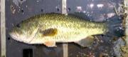 11月のバス釣りはこうやって釣る!有効なルアーとポイント、コツを教えます