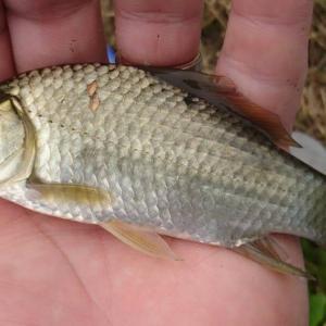 2021/09/24 近所の用水路で小物釣り