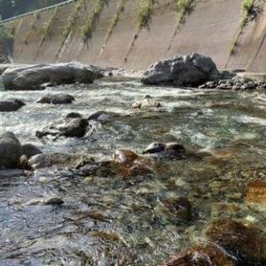 蓮川の天然遡上鮎
