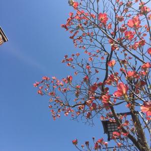 ハナミヅキの街路樹が早くも咲いた^ - ^