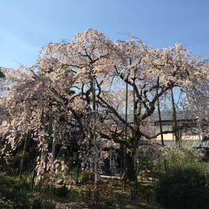 先週一週間の桜巡り