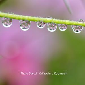 雨あがりの秋桜