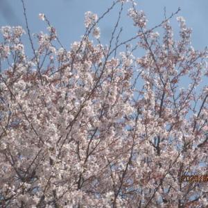 桜と椿が満開です!