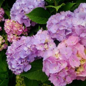 梅雨の貴婦人・紫陽花を魅力的に撮りたい!