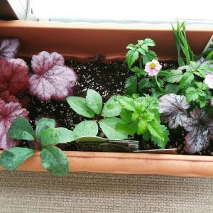 カラーリーフと花苗の寄せ植え