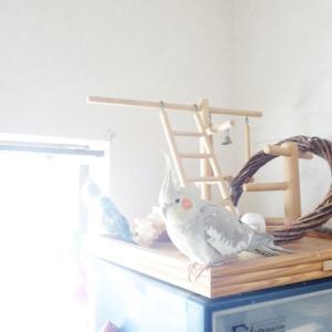 本日の朝日にピカッと写真はオカメインコのレキさんとマメルリハのレミィさんです。