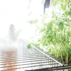 神々しいセキセイインコのレティさんが豆苗を食べているの図。