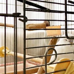 セキセイインコのレティさん。  本日はまだ放鳥してないのですが…エサ入れの前で昼寝してる