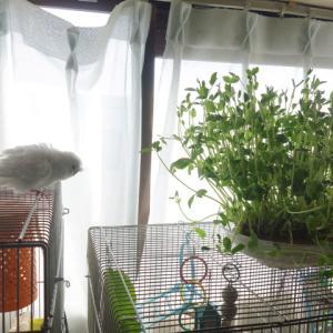 セキセイインコのレティさん、豆苗で本日もお風呂はいってまーす(^o^)