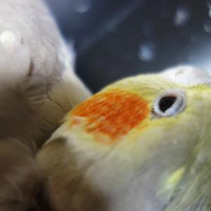 オカメインコのレキちゃん。 この目の角度は気になります(^o^)♥