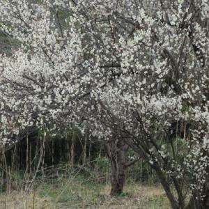 春は いつから      (八高線)