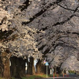 桜並木      (上毛電鉄)