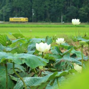 雨中蓮花      (いすみ鉄道)