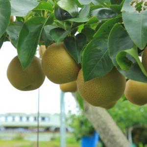 梨の産地      (八高線)
