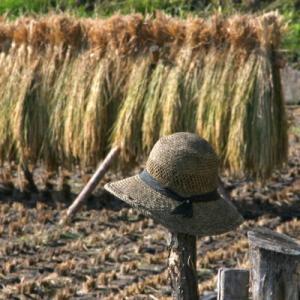 八千穂の収穫期