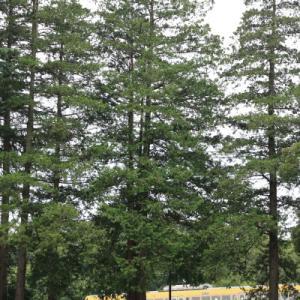 モミの木      (西武多摩川線)