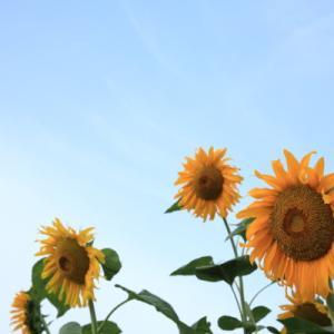 松代の 向日葵