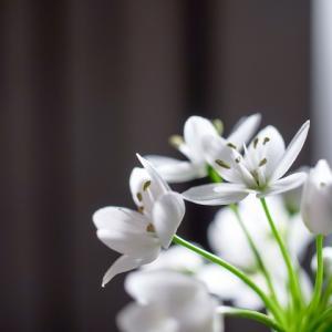 アリウム・コワニー(白色)のココロ
