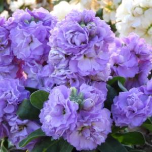 ストック(紫色)のココロ
