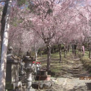 久月 光西寺の枝垂れ桜の森