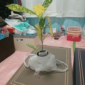 ギャクバリさんが気になっているようなので観葉植物の紹介を先に書こう🍀クロトン