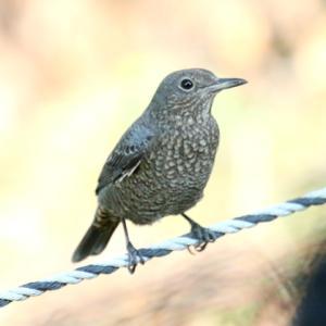 【野鳥】イソヒヨドリ♀・イカルチドリ・タカブシギ・ケリ