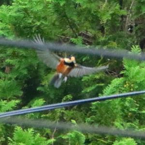【野鳥】ヤマガラ、コゲラ