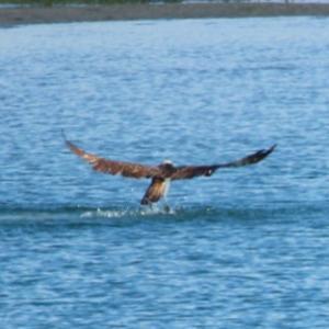 【野鳥】猛禽類ミサゴがお魚を獲った瞬間!