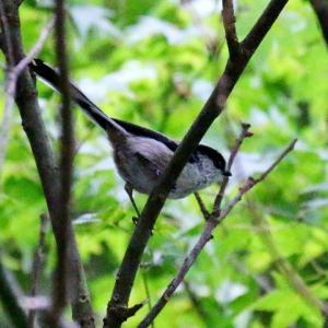 【野鳥】10月の可愛いエナガ!