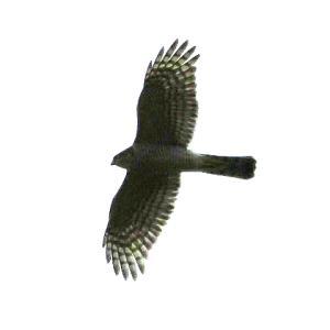 【野鳥】猛禽類ハイタカと準絶滅危惧種オシドリ