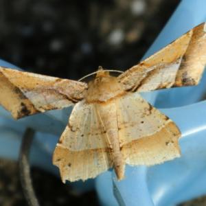 【昆虫】枯葉のような蛾で探すとカレハガだった奇妙な蛾!
