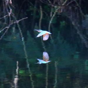 【カワセミの里】カワセミちゃん、島地川を飛ぶ!