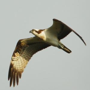 【野鳥】ミサゴ・セイタカシギ・コハクチョウ(宍道湖第5弾)