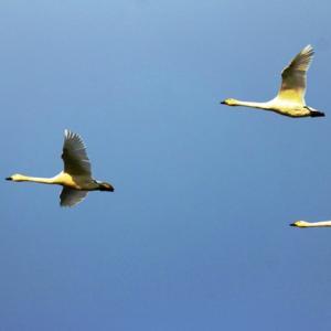 【野鳥】コハクチョウが飛ぶ!(宍道湖第6弾)