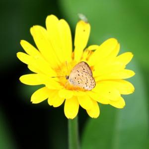 【花】キンセンカとシジミチョウ
