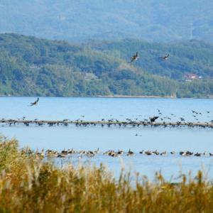 【野鳥】タゲリの飛翔とタヒバリ(宍道湖第8弾)