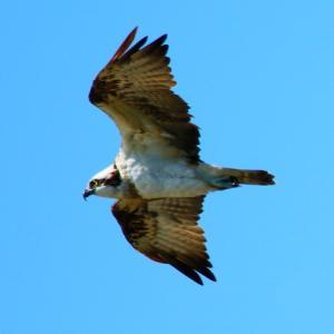 【野鳥】猛禽類ミサゴ・マガモ・カワウ
