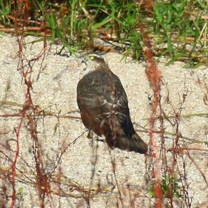 【野鳥】猛禽類ハイタカとチュウヒ(宍道湖第9弾)