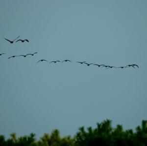【野鳥】渡り鳥隊列の不思議(宍道湖第10弾)