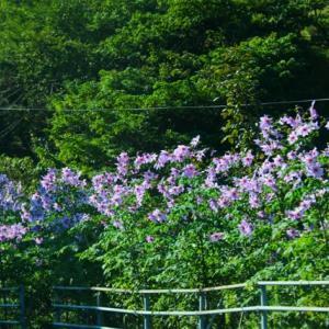 今、皇帝ダリアがよく咲いています。